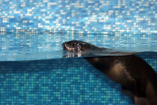 Северный морской котик Зонтик прибыл в нижегородский зоопарк - фото 3